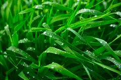 Summer rain. Green grass after a rain and the middle of summer Stock Image