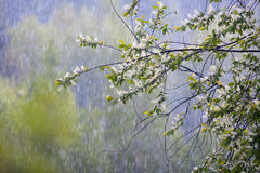 Summer rain. Summer afternoon rain in the wood Stock Photography