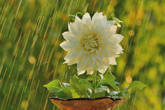 Summer rain and dahlia Stock Images