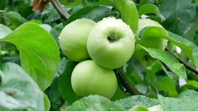 Summer rain in the garden with apples. Soon it`s time to harvest in the orchard stock video footage