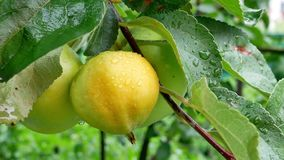Summer rain in the garden with apples. Soon it`s time to harvest in the orchard stock footage