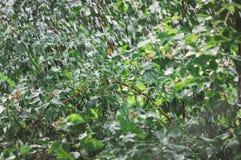 Summer rain in the garden. Beautiful summer background. Raspberry bushes stock photo
