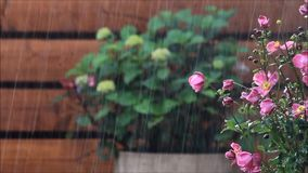 Summer rain in the garden. Pink flower japananemone