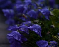 After summer rain. Just beautiful flowers that grow along the lawn in the village after the rain Stock Photos