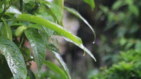Summer rain on leafs in summer stock footage