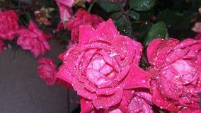 Summer rain. Pink roses fresh rain Royalty Free Stock Photography