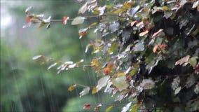 Summer rain, raining on beech tree Fagus sylvatica, summer. Raining in summer on beech tree, Fagus sylvatica stock video