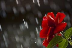 Summer Red Rose Flower Rain Royalty Free Stock Photo