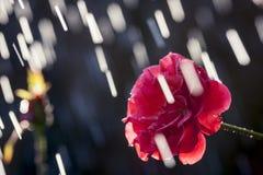 Summer Rain Rose. Just a summer rain in the garden Stock Photography