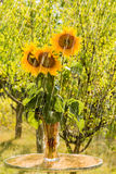 Summer rain and sunflowers Royalty Free Stock Photography