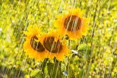 Summer rain and sunflowers Stock Photography