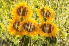 Summer rain and sunflowers Stock Photo