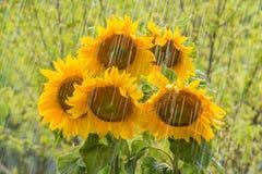 Summer rain and sunflowers Royalty Free Stock Photos