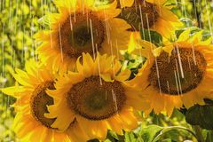 Summer rain and sunflowers Royalty Free Stock Image