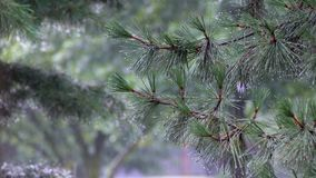 Summer rain, a thunderstorm, a heavy downpour at the recreation center, in a pine forest. Park in large drops royalty free stock images