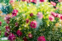Summer rain on window. Blurred flowering rose bush behind glass of window with raindrops