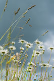 Summer rainy day. Beautiful white daisies in wind. Looking through flowers into dark blue sky with clouds from the below Stock Photography