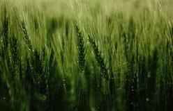 Summer rainy morning in grain. Summer rainy monring in grain. Green power, Summer time, Morning mood royalty free stock image