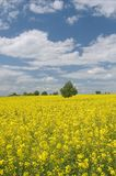 Summer rape field Stock Photos