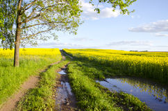 Summer rapes field and farm road Royalty Free Stock Images