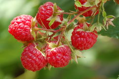 Summer raspberries Royalty Free Stock Photo