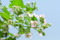 Summer raspberry blossoming bush with purple flowers Stock Photography