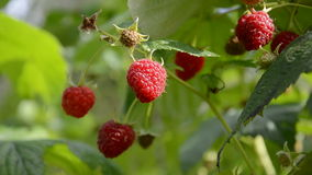 Summer raspberry and wind stock footage