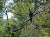 Raven bird is perched on a tree. In Summer a Raven Corvus, crow is perching on a branch of a tree, everything is green around Royalty Free Stock Photography