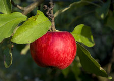 Summer Red apple Royalty Free Stock Photos