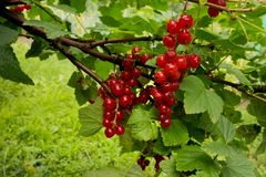 Summer. Red currant in fruit garden royalty free stock photography