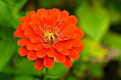 Summer red  flower Stock Photos