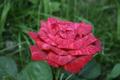 Summer Red Intuition rose flower. A small summer Red Intuition rose flower in the green garden Royalty Free Stock Image