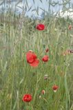 Red poppies in the cereal Royalty Free Stock Images