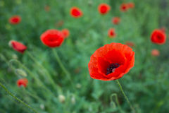 Summer red poppy meadow Royalty Free Stock Photography