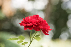 Summer red Rose background, selective focus, light and heart bokeh Stock Photos