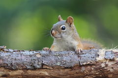 Summer Red Squirrel Royalty Free Stock Images