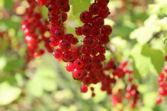Summer redcurrant stock photography