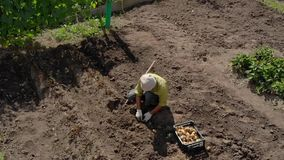 Summer resident engaged in digging potatoes. On a small field. View from height stock video footage