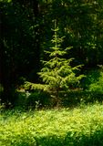 Summer retreat with spruce. Illustrations,summer woods stock photos