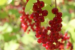 Summer redcurrant stock photo
