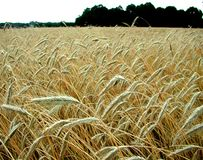 Ripe barley before harvest Stock Photography