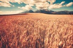 Summer ripe orange wheat field with mountain range Royalty Free Stock Photography
