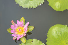 Summer river with floating violet water lily on green leaf. Lotus is a biennial plant Stem the flow of both rhizomes or tubers single leaves grow from the stem stock photo
