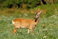 Summer roe deer Stock Images
