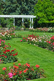 Summer rose garden Royalty Free Stock Photos