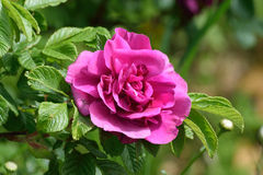 Summer Rose. Rugosa rose bush, the sweetest smelling rose of it's kind Stock Image