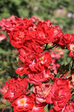 Summer roses. Close up of the red summer roses Stock Image