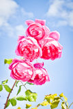 Summer roses Stock Photography