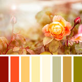 Summer roses palette Royalty Free Stock Photos