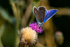 Summer royal Dress. Lycaenidae butterfly on the meadow. Macro photography of wildlife Stock Photography